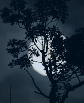 moonolive_tree1[1]